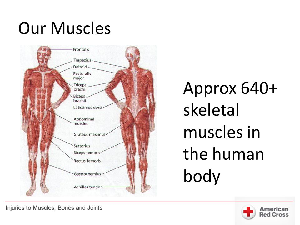Our Muscles Approx 640+ skeletal muscles in the human body