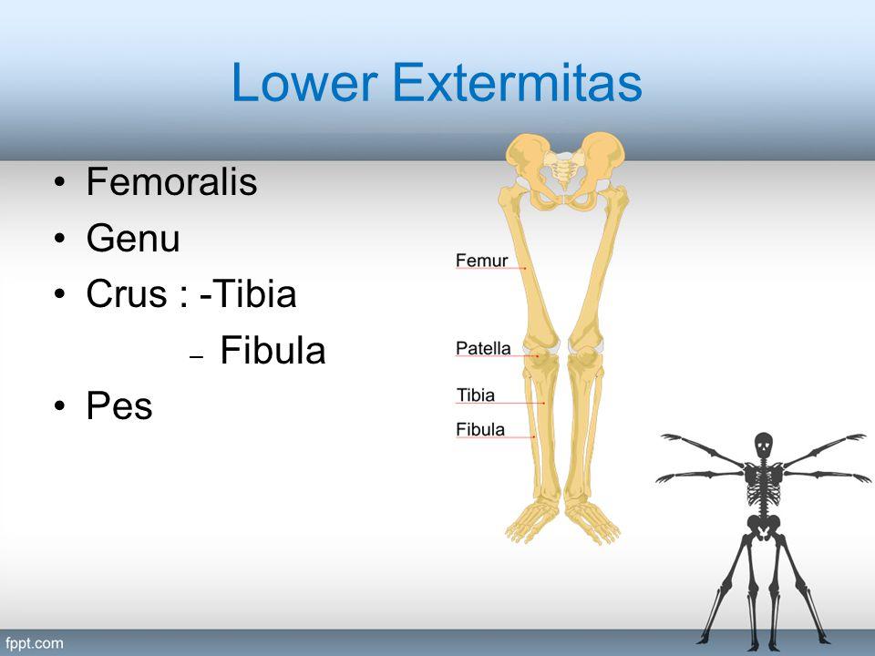 Lower Extermitas Femoralis Genu Crus : -Tibia – Fibula Pes
