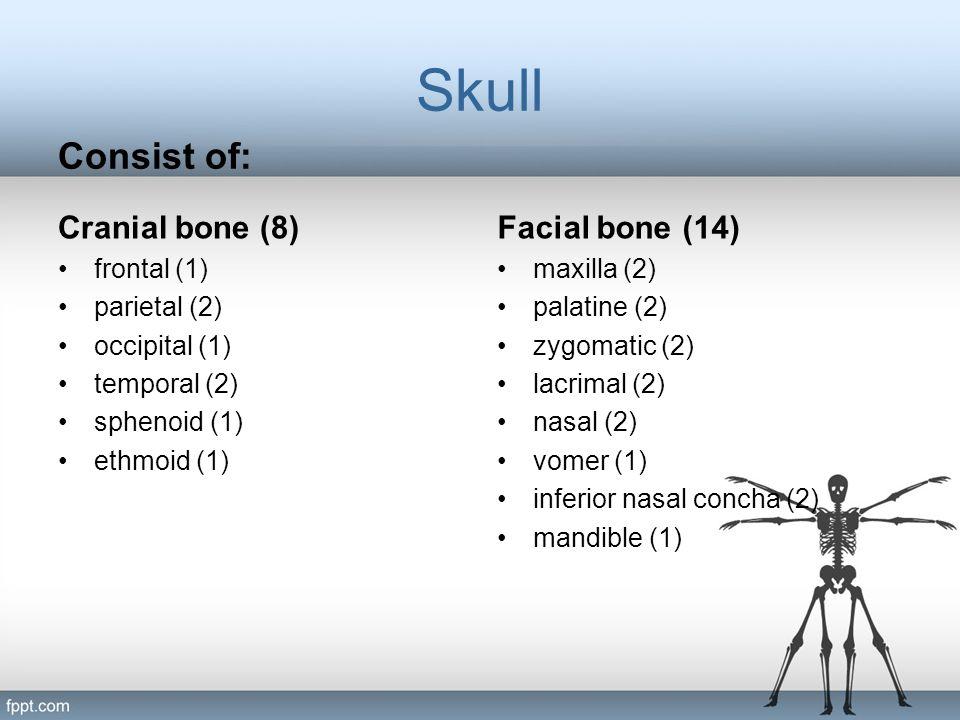 Skull Consist of: Cranial bone (8) frontal (1) parietal (2) occipital (1) temporal (2) sphenoid (1) ethmoid (1) Facial bone (14) maxilla (2) palatine