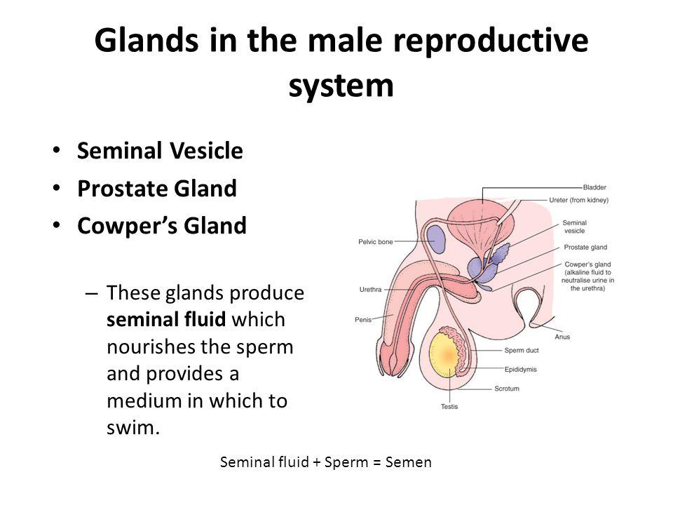 Seminal fluid + Sperm = Semen Glands in the male reproductive system Seminal Vesicle Prostate Gland Cowper's Gland – These glands produce seminal flui