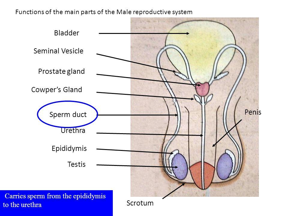 Testis Epididymis Sperm duct Seminal Vesicle Prostate gland Bladder Urethra Scrotum Cowper's Gland Carries sperm from the epididymis to the urethra Fu