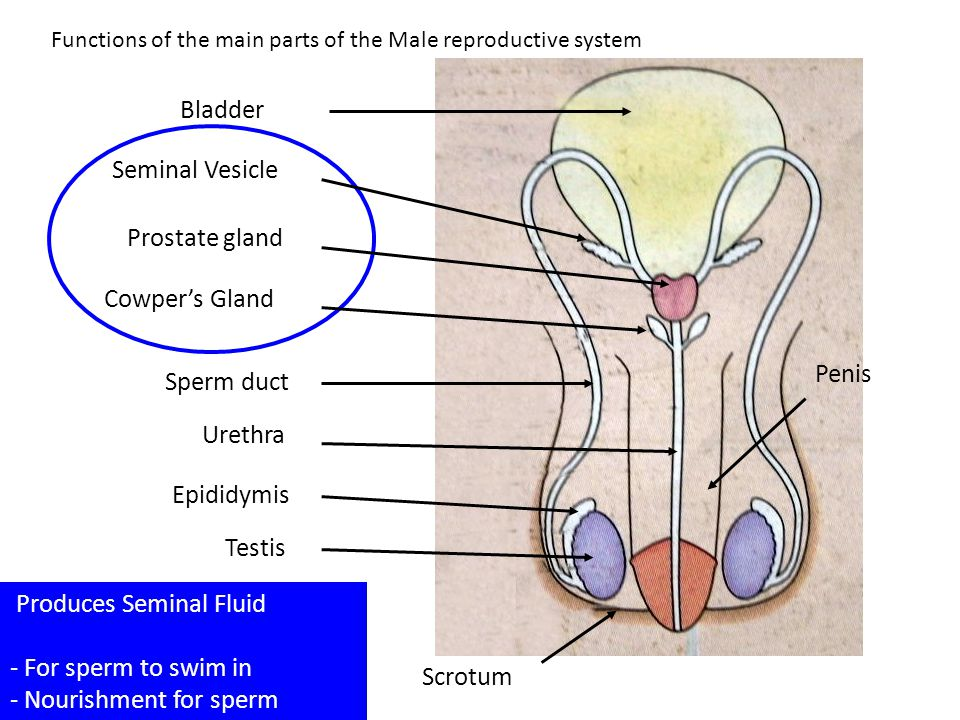 Produces Seminal Fluid - For sperm to swim in - Nourishment for sperm Functions of the main parts of the Male reproductive system Testis Epididymis Sp