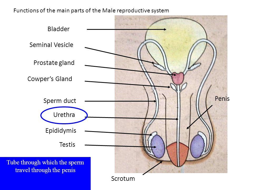 Testis Epididymis Sperm duct Seminal Vesicle Prostate gland Bladder Urethra Scrotum Cowper's Gland Tube through which the sperm travel through the pen