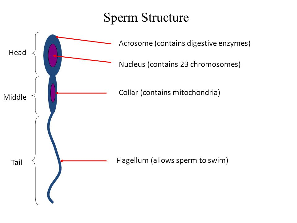 Sperm Structure Head Middle Tail Acrosome (contains digestive enzymes) Nucleus (contains 23 chromosomes) Collar (contains mitochondria) Flagellum (all