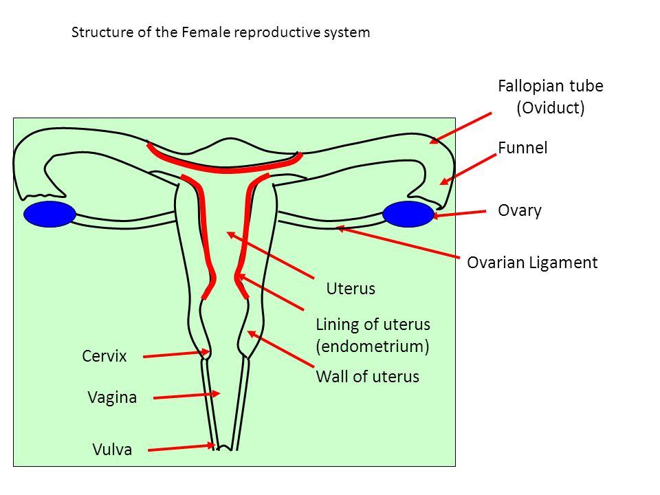 Structure of the Female reproductive system Fallopian tube (Oviduct) Funnel Ovary Ovarian Ligament Uterus Lining of uterus (endometrium) Wall of uteru
