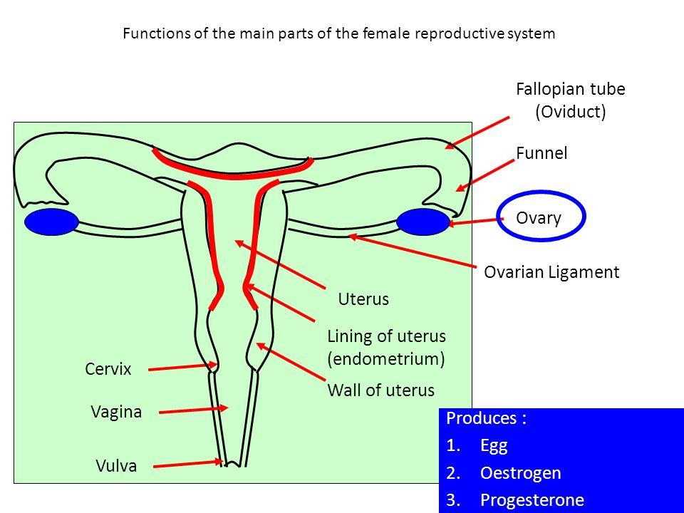 Functions of the main parts of the female reproductive system Funnel Ovary Uterus Lining of uterus (endometrium) Wall of uterus Cervix Vagina Vulva Pr
