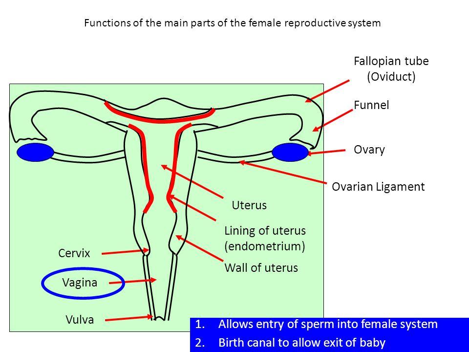 Functions of the main parts of the female reproductive system Funnel Ovary Uterus Lining of uterus (endometrium) Wall of uterus Cervix Vagina Vulva 1.