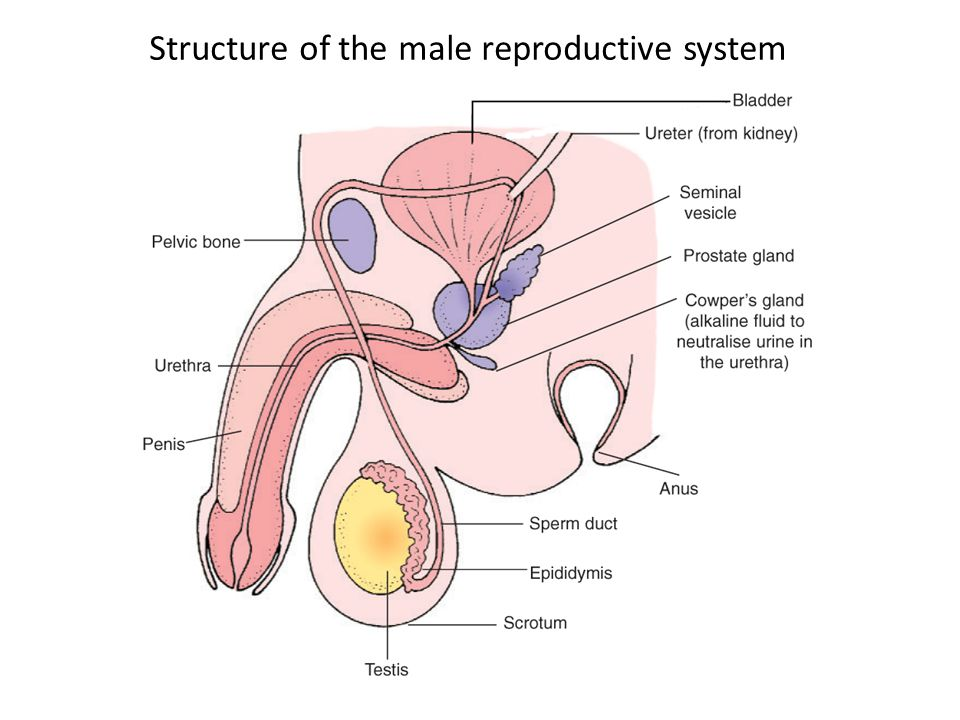 Structure of the male reproductive system