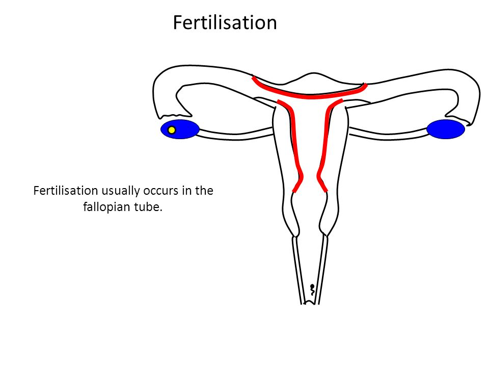 Fertilisation usually occurs in the fallopian tube.