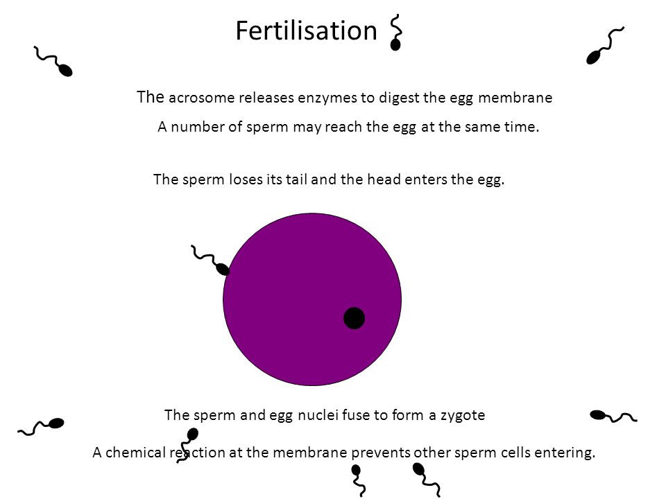 Fertilisation A number of sperm may reach the egg at the same time. The acrosome releases enzymes to digest the egg membrane The sperm loses its tail