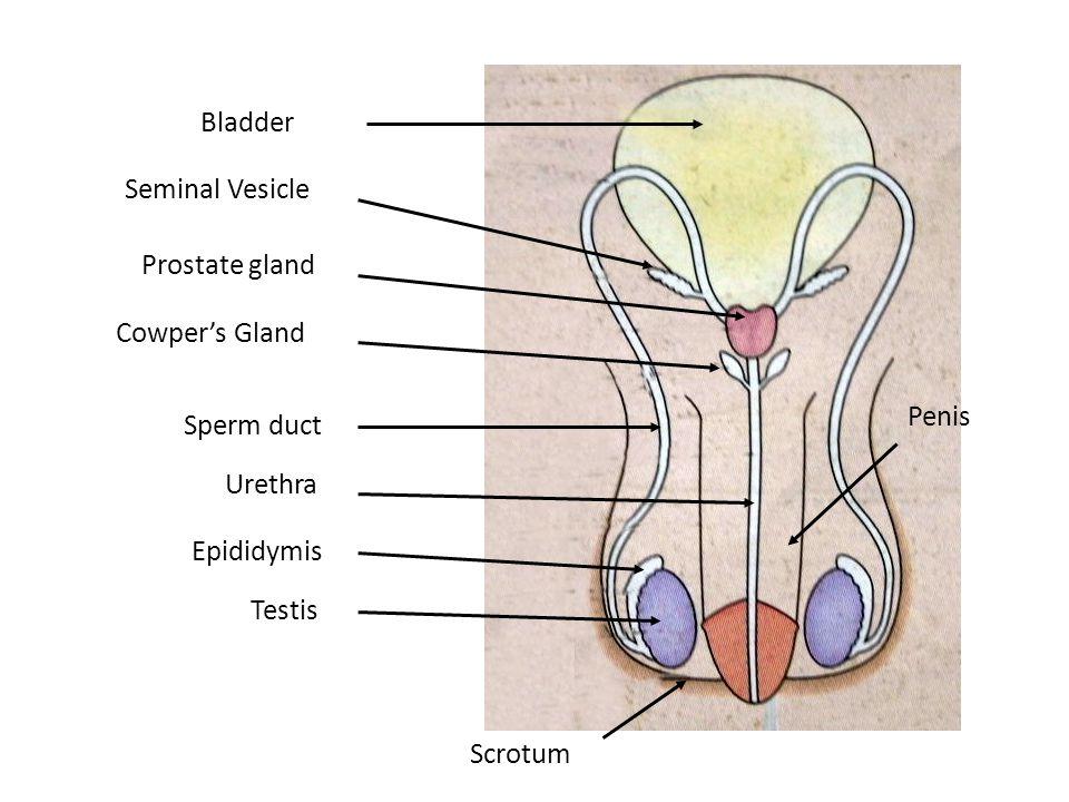 Testis Epididymis Sperm duct Seminal Vesicle Prostate gland Bladder Urethra Scrotum Cowper's Gland Penis