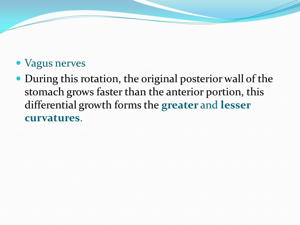 Vagus nerves During this rotation, the original posterior wall of the stomach grows faster than the anterior portion, this differential growth forms t