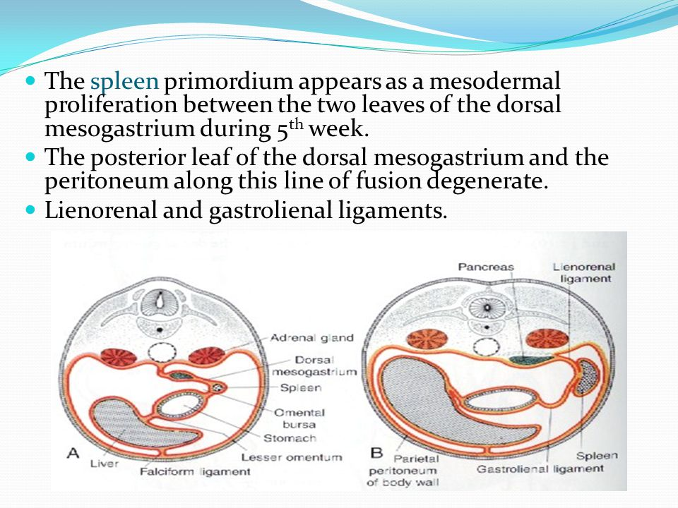 The spleen primordium appears as a mesodermal proliferation between the two leaves of the dorsal mesogastrium during 5 th week. The posterior leaf of