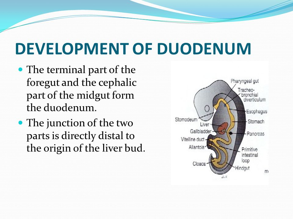 DEVELOPMENT OF DUODENUM The terminal part of the foregut and the cephalic part of the midgut form the duodenum. The junction of the two parts is direc