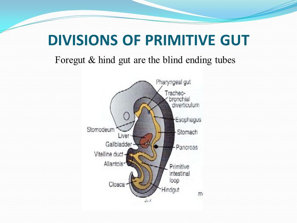 DIVISIONS OF PRIMITIVE GUT Foregut & hind gut are the blind ending tubes