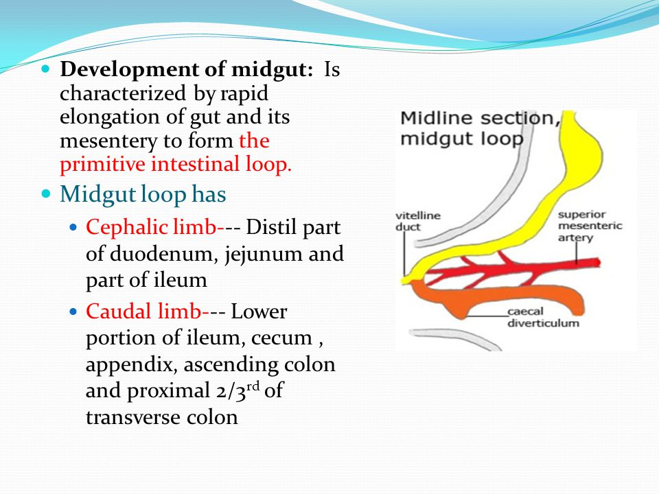 Development of midgut: Is characterized by rapid elongation of gut and its mesentery to form the primitive intestinal loop. Midgut loop has Cephalic l
