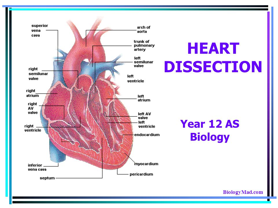 Intact Heart… This shows the pig heart from the front, with the portion on the right of the picture being the left side of the heart and vice versa.
