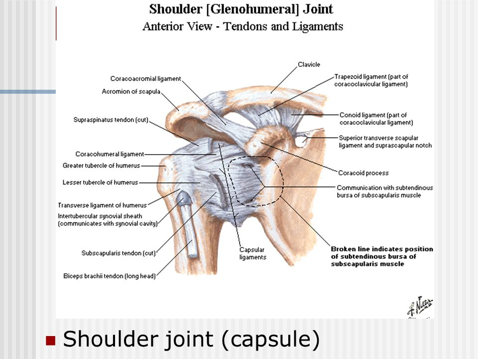 Shoulder joint (capsule)