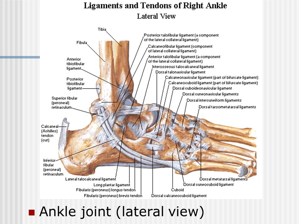 Ankle joint (lateral view)