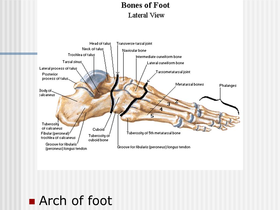 Arch of foot