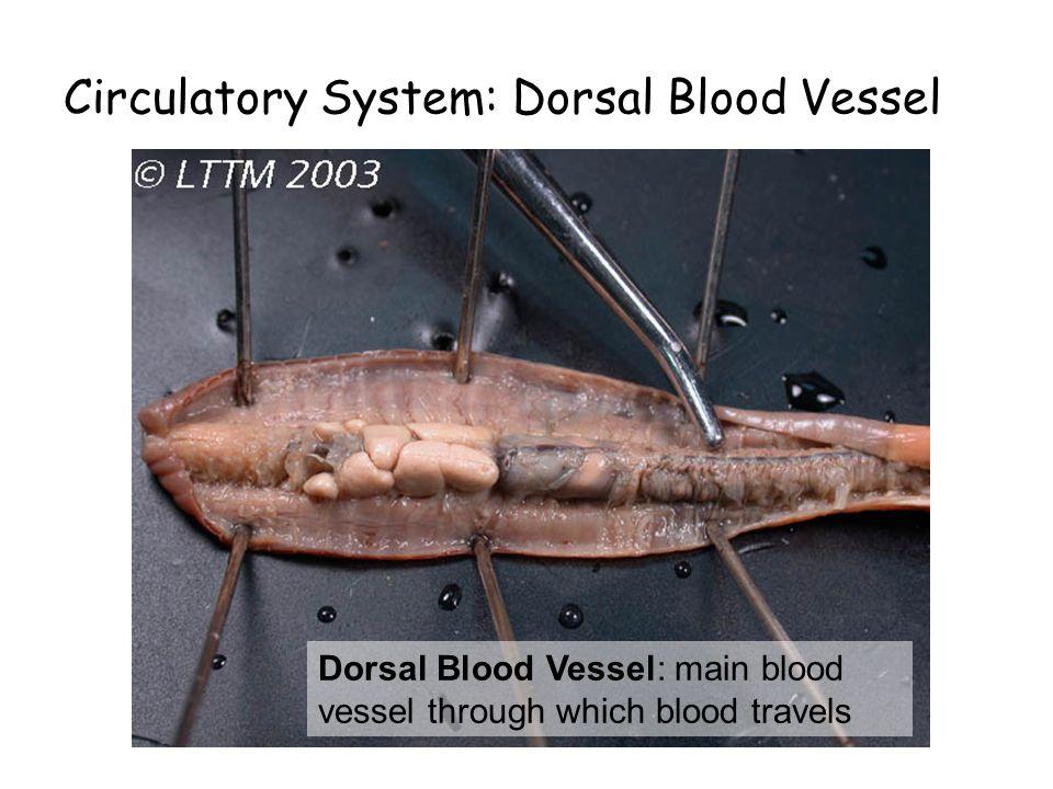 Circulatory System: Dorsal Blood Vessel Dorsal Blood Vessel: main blood vessel through which blood travels
