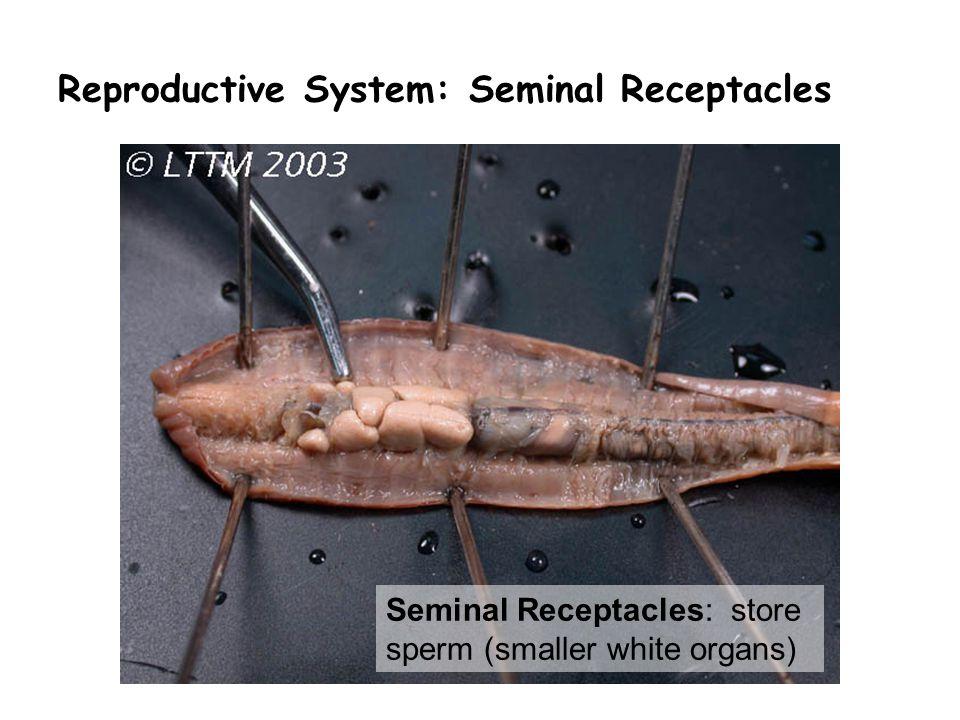 Reproductive System: Seminal Receptacles Seminal Receptacles: store sperm (smaller white organs)