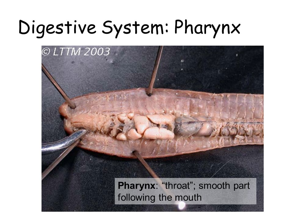 Digestive System: Pharynx Pharynx: throat ; smooth part following the mouth