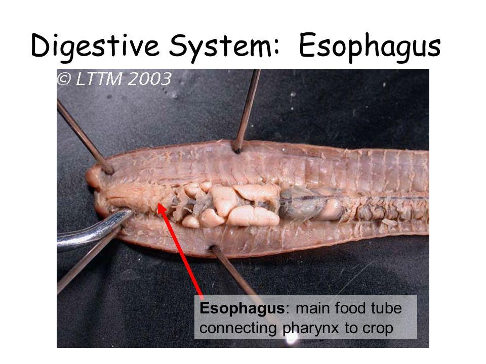 Digestive System: Esophagus Esophagus: main food tube connecting pharynx to crop