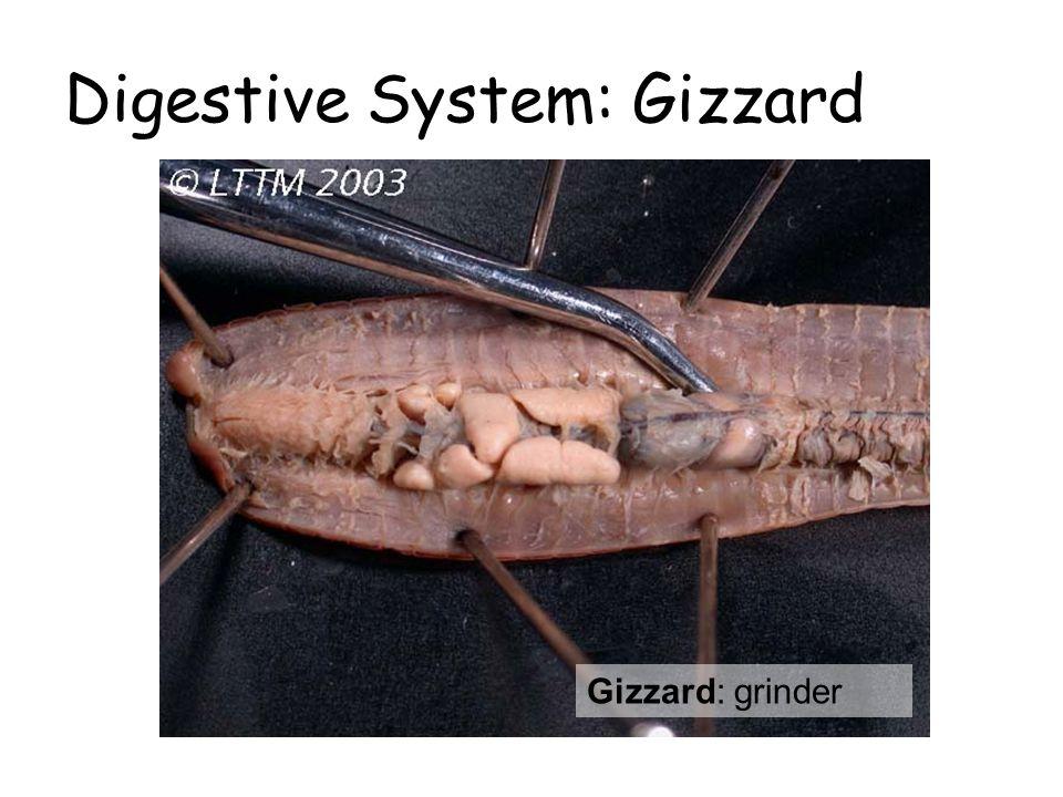 Digestive System: Gizzard Gizzard: grinder