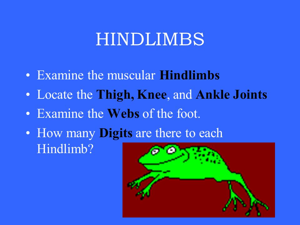 HINDLIMBS Examine the muscular Hindlimbs Locate the Thigh, Knee, and Ankle Joints Examine the Webs of the foot.