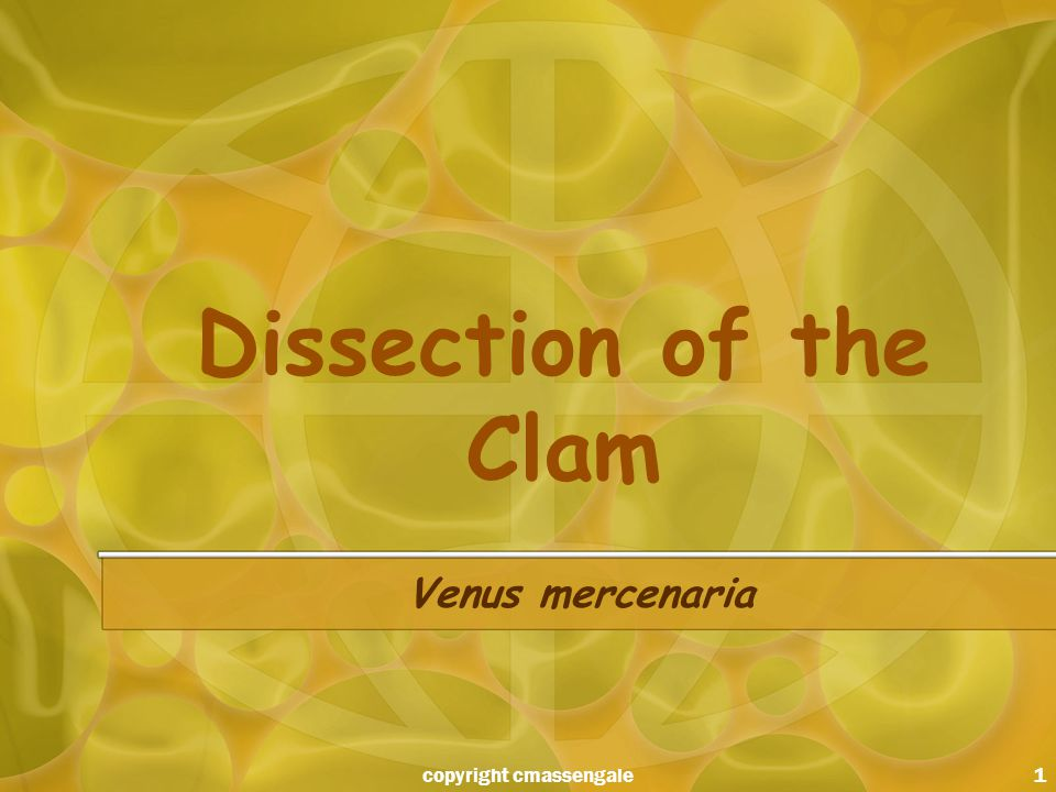 1 Dissection of the Clam Venus mercenaria copyright cmassengale