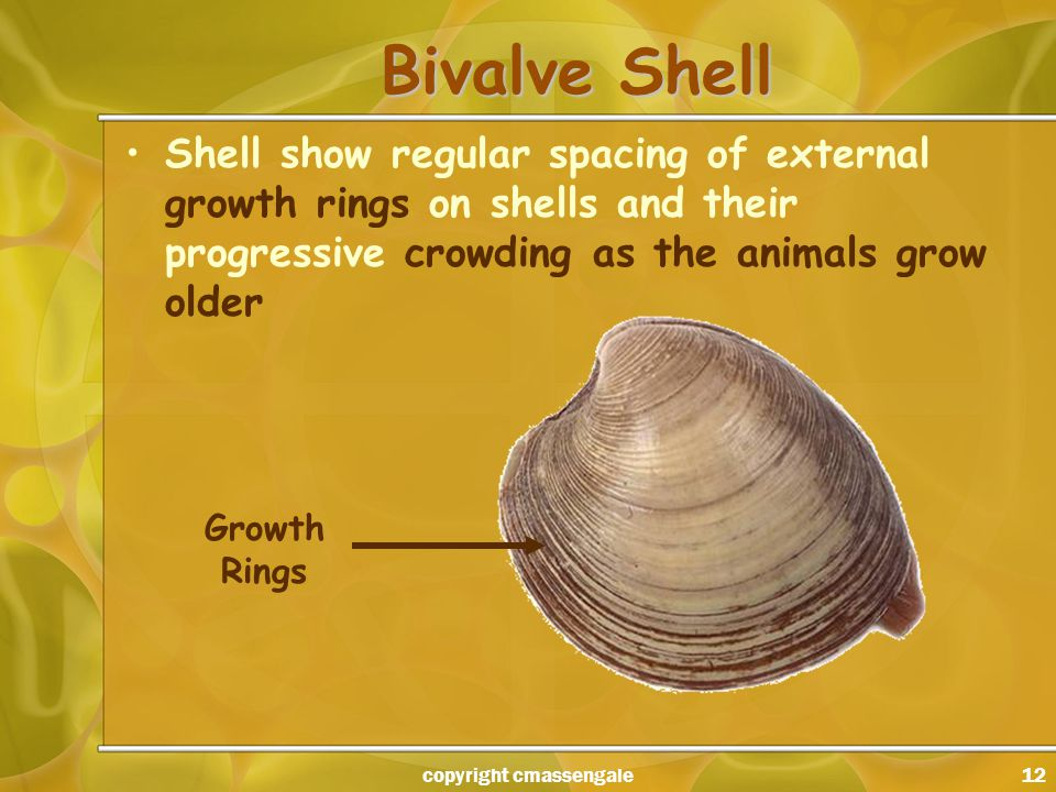 12 Bivalve Shell Shell show regular spacing of external growth rings on shells and their progressive crowding as the animals grow older Growth Rings copyright cmassengale