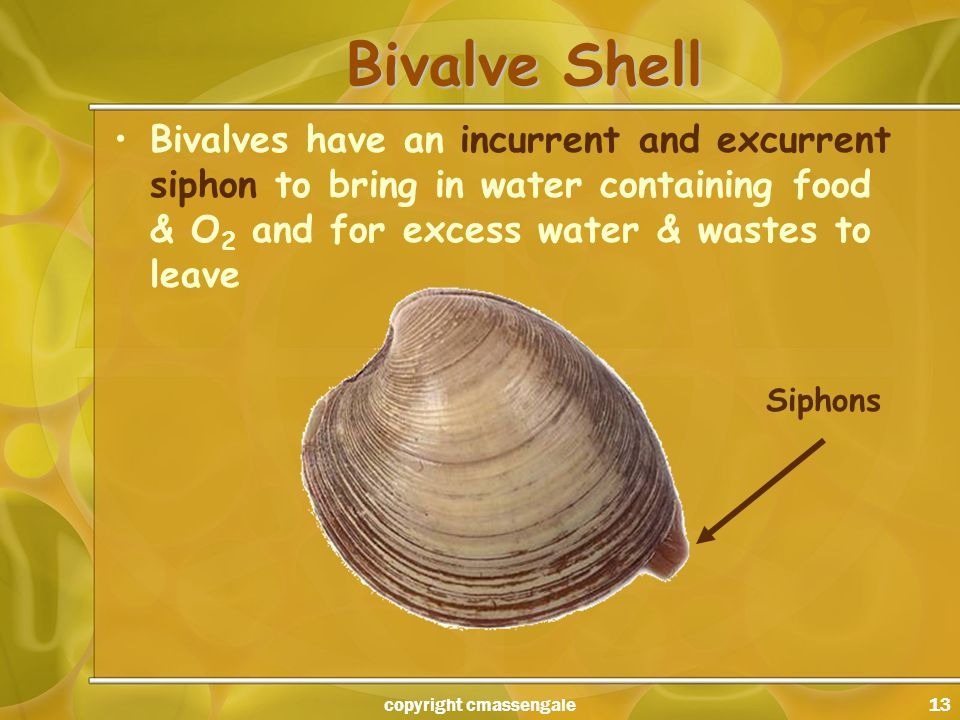 13 Bivalve Shell Bivalves have an incurrent and excurrent siphon to bring in water containing food & O 2 and for excess water & wastes to leave Siphons copyright cmassengale