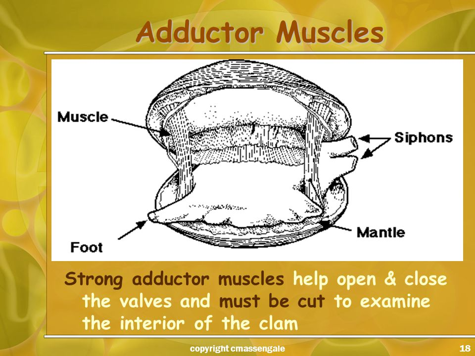 18 Adductor Muscles Strong adductor muscles help open & close the valves and must be cut to examine the interior of the clam copyright cmassengale