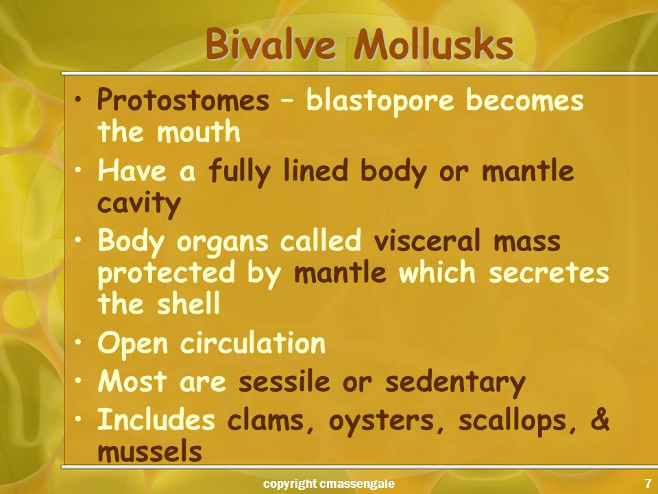7 Bivalve Mollusks Protostomes – blastopore becomes the mouth Have a fully lined body or mantle cavity Body organs called visceral mass protected by mantle which secretes the shell Open circulation Most are sessile or sedentary Includes clams, oysters, scallops, & mussels copyright cmassengale