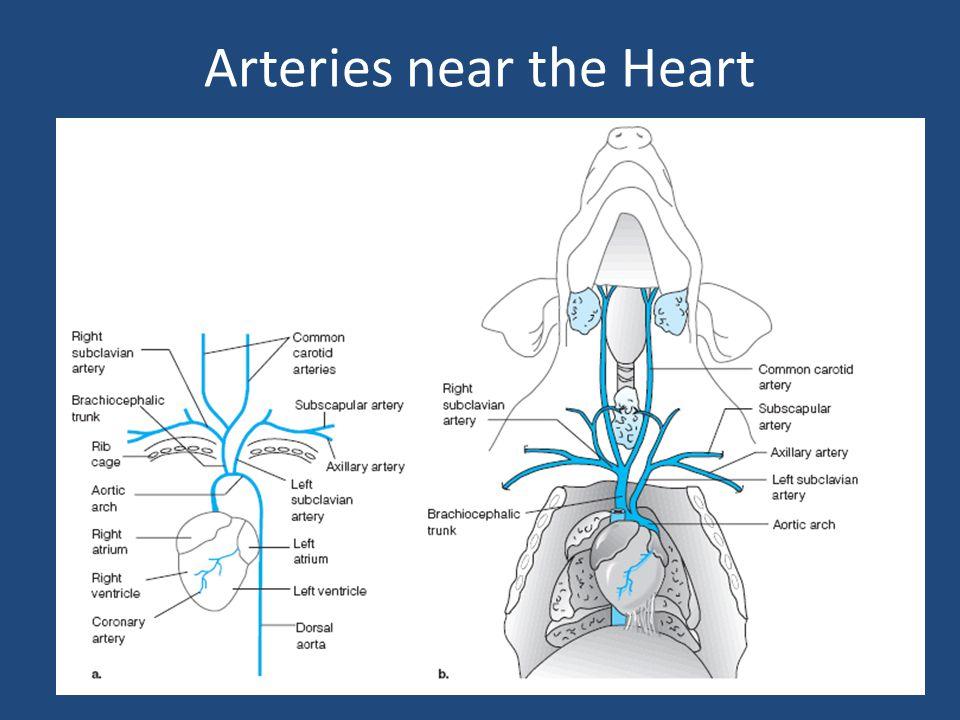 Arteries near the Heart