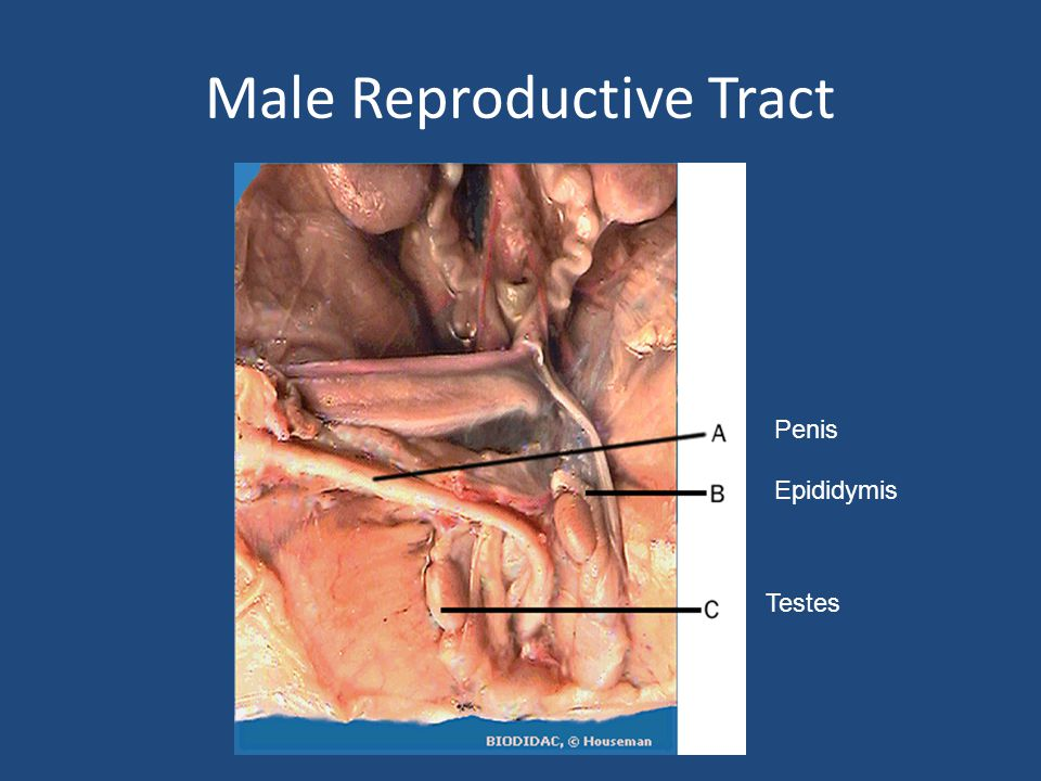 Male Reproductive Tract Penis Epididymis Testes