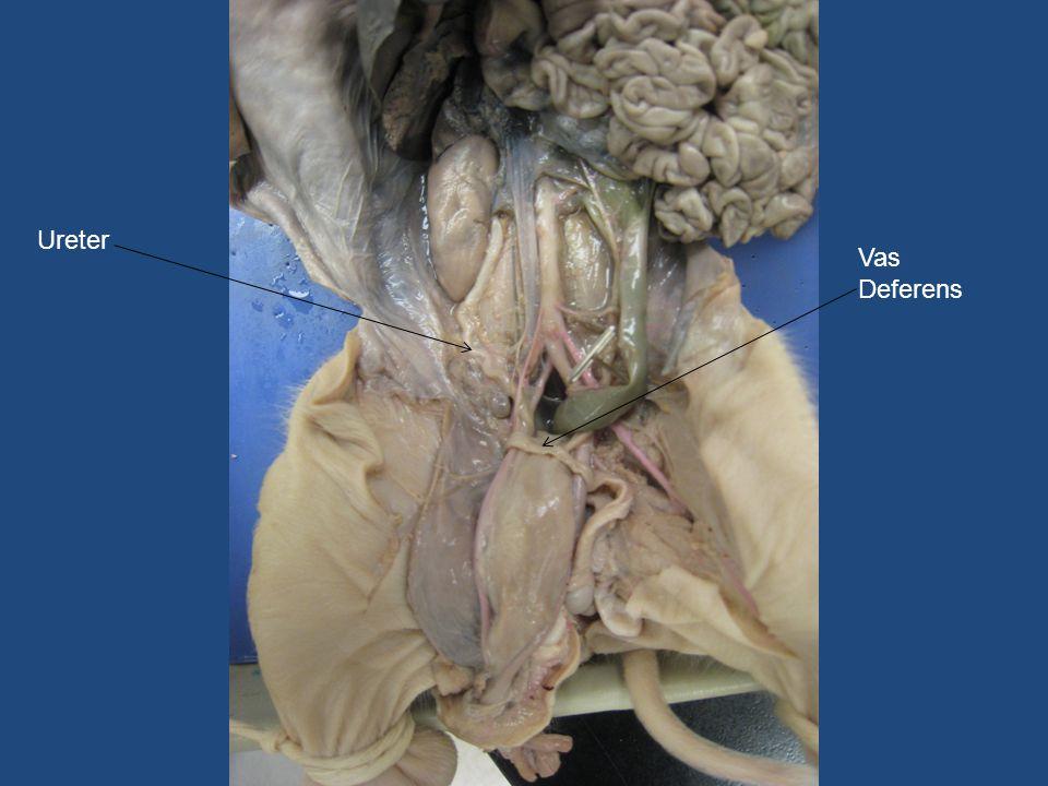 Vas Deferens Ureter