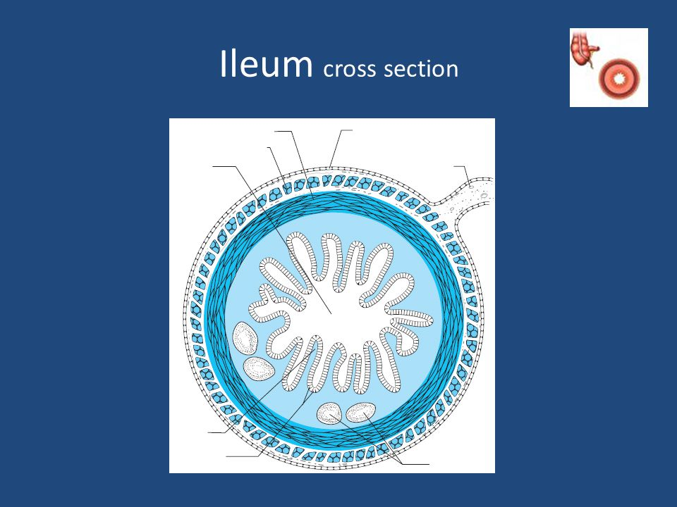 Ileum cross section