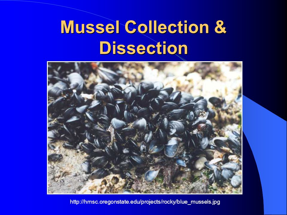 Mussel Collection & Dissection http://hmsc.oregonstate.edu/projects/rocky/blue_mussels.jpg