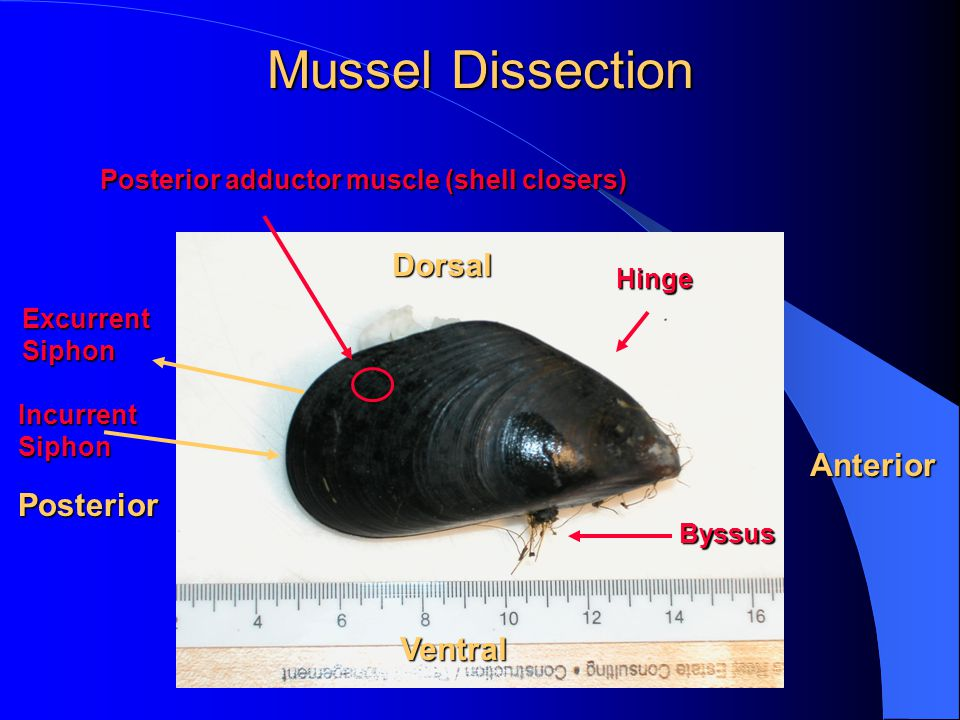 Hinge Anterior Posterior Dorsal Ventral Byssus ExcurrentSiphon IncurrentSiphon Posterior adductor muscle (shell closers) Mussel Dissection