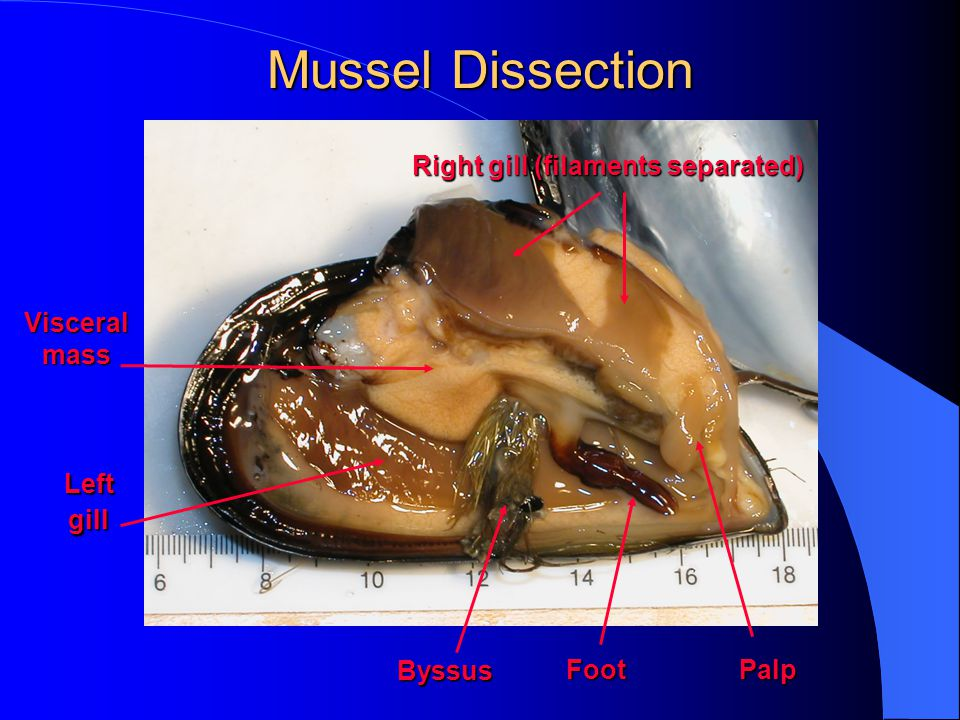 Byssus FootPalp Visceral mass Right gill (filaments separated) Left gill Mussel Dissection Mussel Dissection