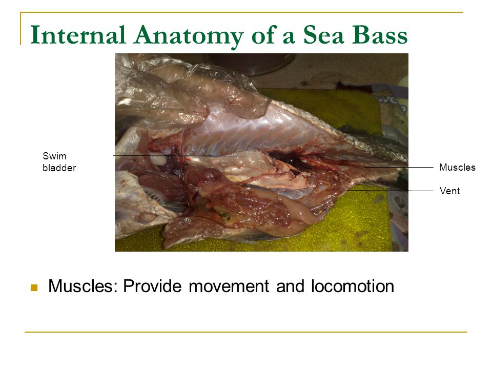 Internal Anatomy of a Sea Bass Muscles: Provide movement and locomotion Swim bladder Muscles Vent
