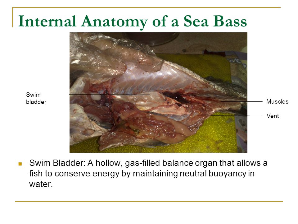 Internal Anatomy of a Sea Bass Swim Bladder: A hollow, gas-filled balance organ that allows a fish to conserve energy by maintaining neutral buoyancy