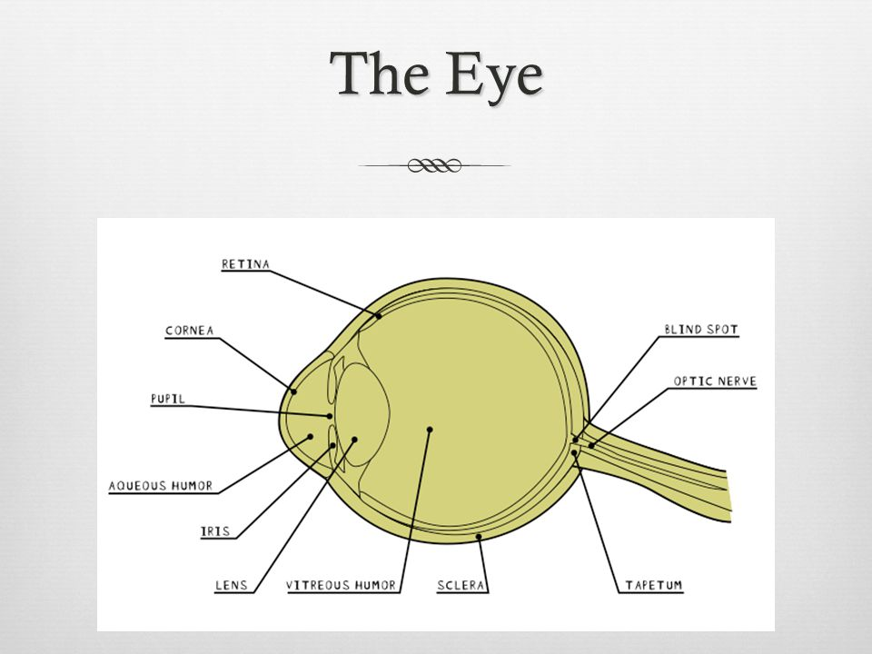 Examination  Firstly examine the outside of the eye  Notice the sclera, the tough outer covering of the eyeball; the fat and muscles surrounding the eye; the cornea (covering at the front of the eye) – this would have been clear when the animal was alive; the pupil (the dark oval in the middle); and the iris (the coloured part of the eye)