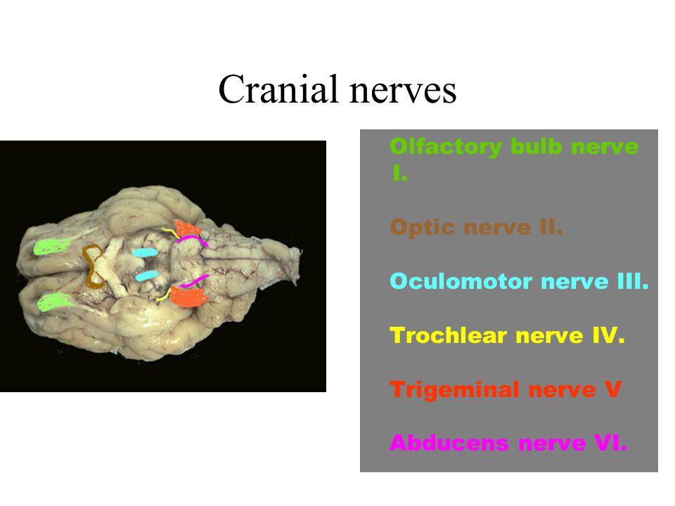 Cranial nerves Olfactory bulb nerve I. Optic nerve II. Oculomotor nerve III. Trochlear nerve IV. Trigeminal nerve V Abducens nerve VI.