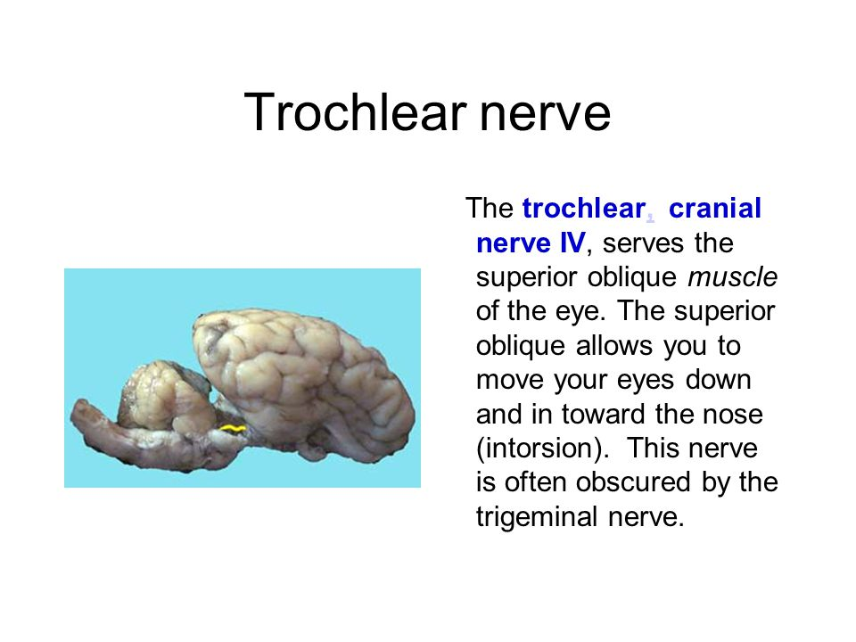 Trochlear nerve The trochlear, cranial nerve IV, serves the superior oblique muscle of the eye. The superior oblique allows you to move your eyes down