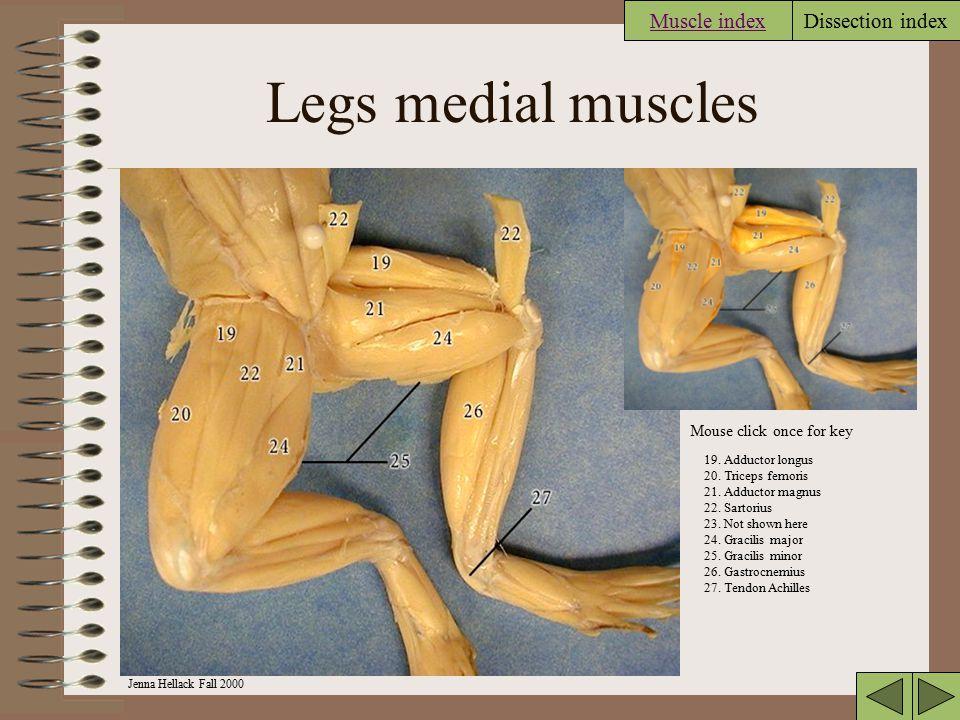 Jenna Hellack Fall 2000 Dissection index Frog medial leg 20. Triceps femoris 21.Adductor magnus 22.Sartorius 24.Gracilis major 26.Gastrocnemius Muscle