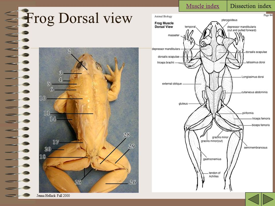 Jenna Hellack Fall 2000 Dissection index Frog muscles Dorsal view –Full viewFull view –Shoulder and head area Shoulder lateral Shoulder dorsal –Anteri