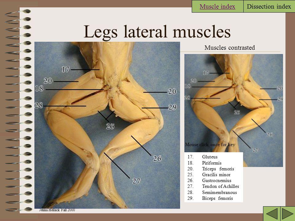 Jenna Hellack Fall 2000 Dissection index Anterior Dorsal view 2 Muscles contrasted 2.Pterygoideus 3.Temporal 4.Masseter 5.Depressor mandibularis 6.Dor